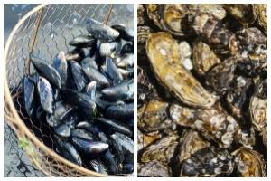 Muschelsorten (Austern, Muscheln)
