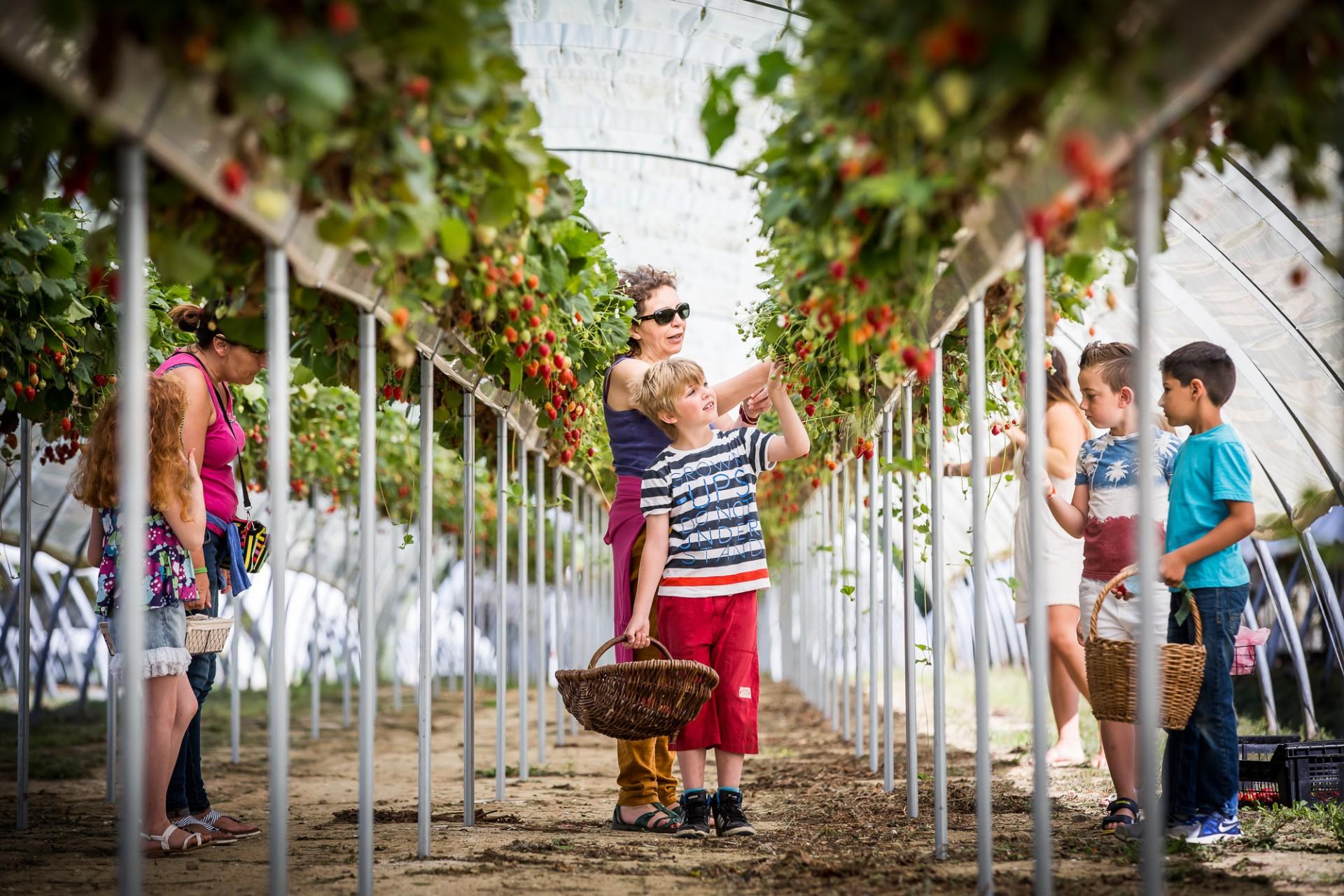 Cueillette de fraise à La Fraiseraie
