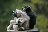 branfere-gibbon©leroch