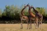 Branféré-Girafes©N Florentin