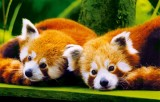 branfere-panda-roux