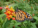 Ile aux Papillons Noirmoutier danaus-plexippus