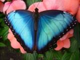 Ile aux Papillons Noirmoutier morpho-peleides