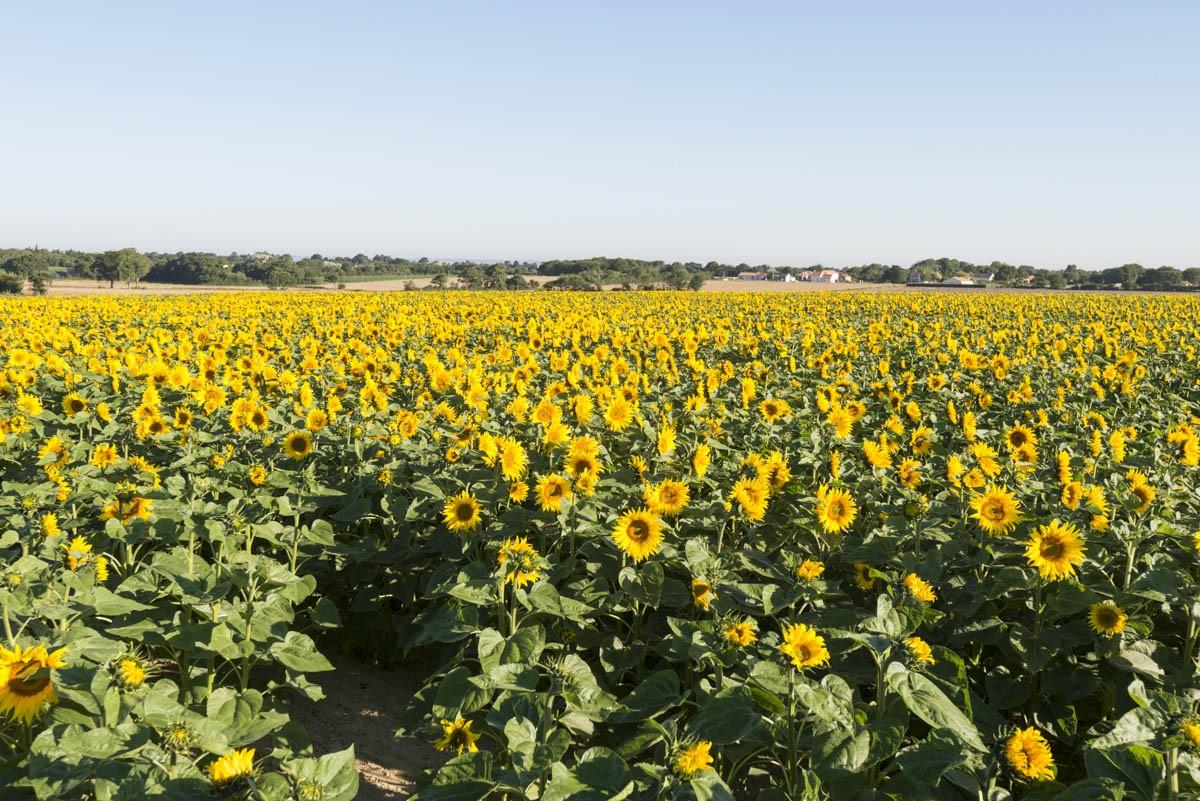 Les champs de tournesols