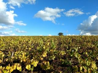 Les vignes du Loroux bottereau, Le vignoble de Nantes