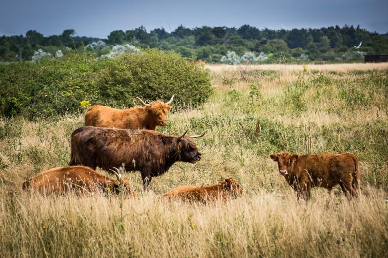 marais, marais de lyarne, marais breton, vache, highland, nature, moutiers, les moutiers en retz
