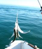 Pêche à la dandine