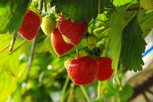 pornic fraises, fraiseraie, produits régionaux
